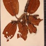 rhododendron-falconeri